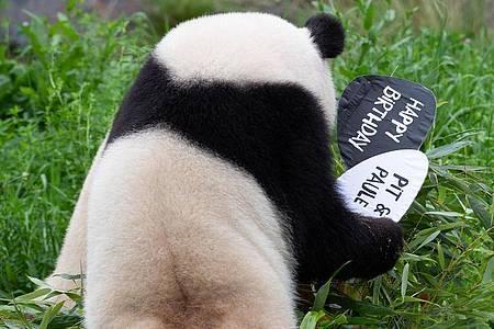 Panda-Weibchen Meng-Meng räumt die Schilder von der Geburtstagstorte für ihre beiden Kinder Paule und Pit ab. Foto: Paul Zinken/dpa