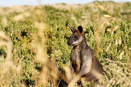 Kängurus stehen inAustralien unter besonderem Schutz. (Symbolbild). Foto: Bernhard Krieger/dpa-tmn