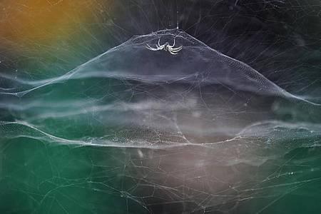 Eine Zeltspinne spannt ihr Netz aus. Der zehnjährige Fotograf Vidyun R. Hebbar wird für das Bild ausgezeichnet. Foto: Vidyun R Hebbar/Wildlife Photographer of the Year /PA Media/dpa