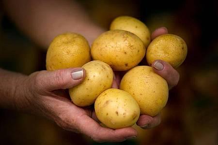 Schon lange ist die Kartoffel in Deutschland ein beliebter Sattmacher. Doch der Klimawandel stellt neue Anforderungen an die Knolle. Foto: Arno Burgi/dpa-Zentralbild/dpa-tmn