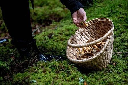 Will man hochwertige und garantiert unverdorbene Wildpilze zubereiten, findet man sie nicht im Supermarktregal. Foto: Zacharie Scheurer/dpa-tmn/Archivbild