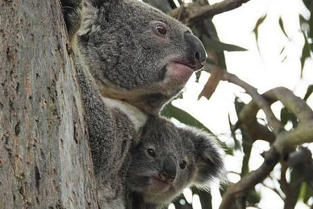 Die Koalas sind in Gefahr: Die Zahl der australischen Beutelsäuger nimmt einer neuen Studie zufolge rapide ab und ist allein in den vergangenen drei Jahren um 30 Prozent geschrumpft. Foto: Supplied/IFAW, FRIENDS OF THE KOALA via AAP/dpa