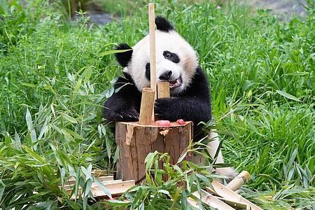 Paule, einer der beiden jungen Pandas im Berliner Zoo, läßt sich Bambus von der Geburtstagstorte schmecken. Foto: Paul Zinken/dpa