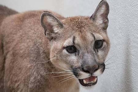 Dieses vom Bronx Zoo zur Verfügung gestellte Foto zeigt einen Puma im Bronx Zoo. Foto: Julie Larsen Mahler/WCS Communications/Bronx Zoo/dpa
