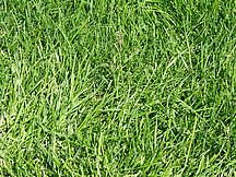 Grüner Rasen von oben