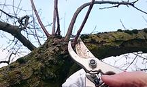 Baum der mit Schere geschnitten wird