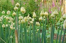 Blühende Winterheckenzwiebel in einer Reihe