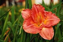 Orange blühende Taglilie