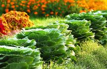 Grüne Zierkohlköpfe in Reihe im Blumenbeet