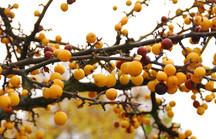 Zieräpfelfrüchte an braunem Ast