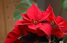 RoterWeihnachtsstern mit Blüte
