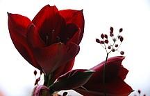 Rote offene Blüte einer Amaryllis